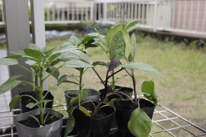 子どもの食育にもなる!簡単ベランダ菜園のススメの画像1