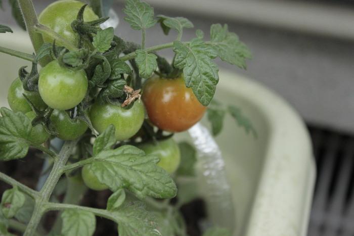 子どもの食育にもなる!簡単ベランダ菜園のススメの画像3