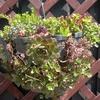 子どもと一緒に♪多肉植物の寄せ植えの方法!のタイトル画像