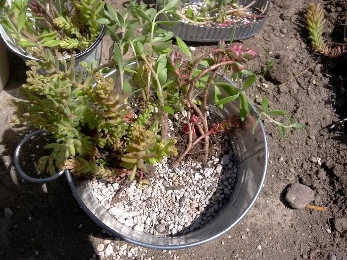 子どもと一緒に♪多肉植物の寄せ植えの方法!の画像3