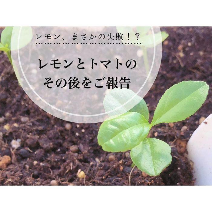 トマトの種、とって植えたらどうなる!?おうち時間に楽しむ家庭菜園の画像20