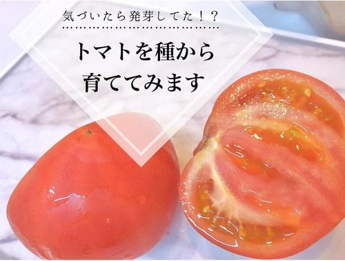 トマトの種、とって植えたらどうなる!?おうち時間に楽しむ家庭菜園のタイトル画像