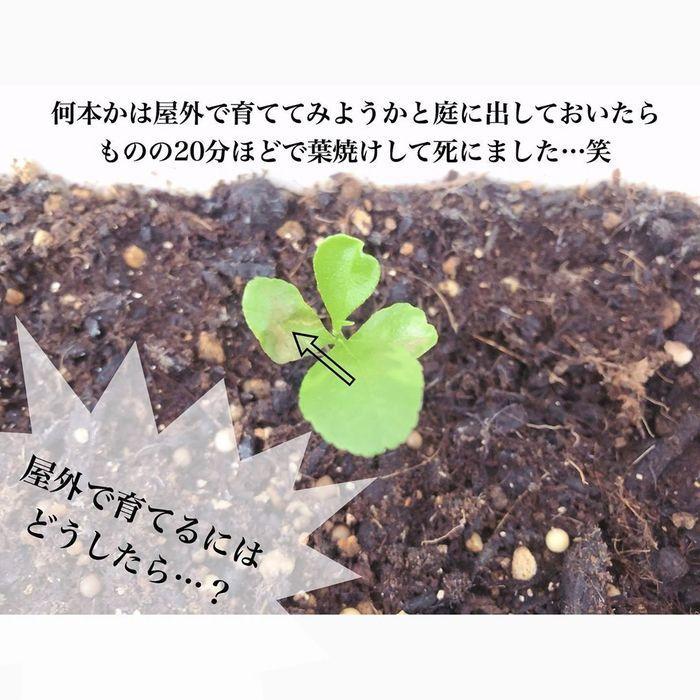 トマトの種、とって植えたらどうなる!?おうち時間に楽しむ家庭菜園の画像23