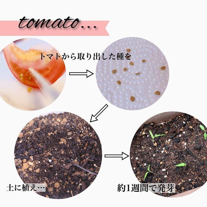 トマトの種、とって植えたらどうなる!?おうち時間に楽しむ家庭菜園の画像24