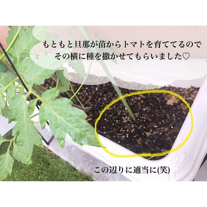 トマトの種、とって植えたらどうなる!?おうち時間に楽しむ家庭菜園の画像18