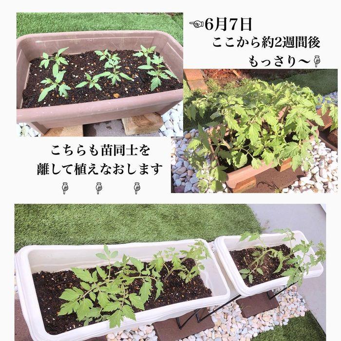 トマトの種、とって植えたらどうなる!?おうち時間に楽しむ家庭菜園の画像25