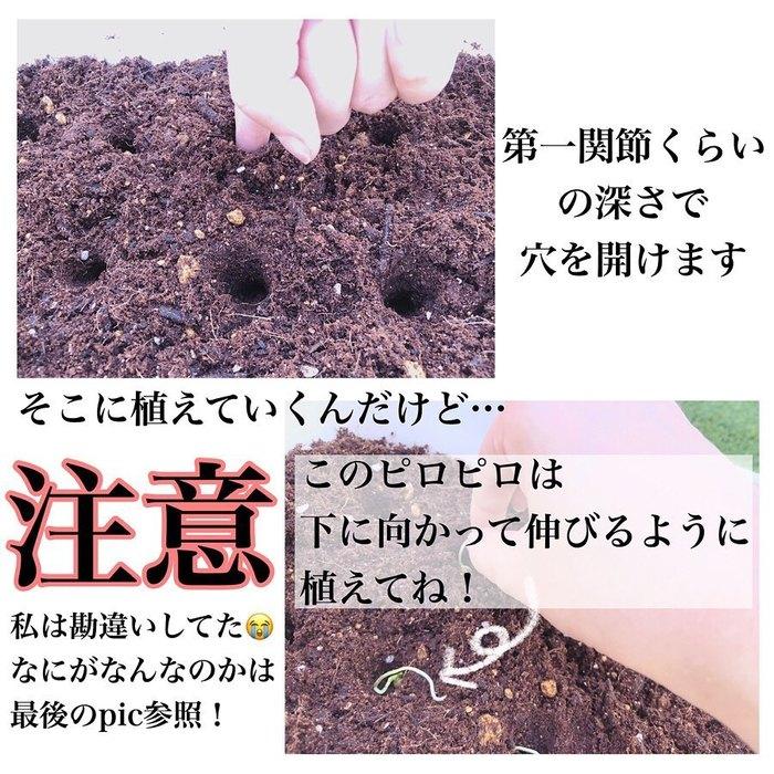 トマトの種、とって植えたらどうなる!?おうち時間に楽しむ家庭菜園の画像12