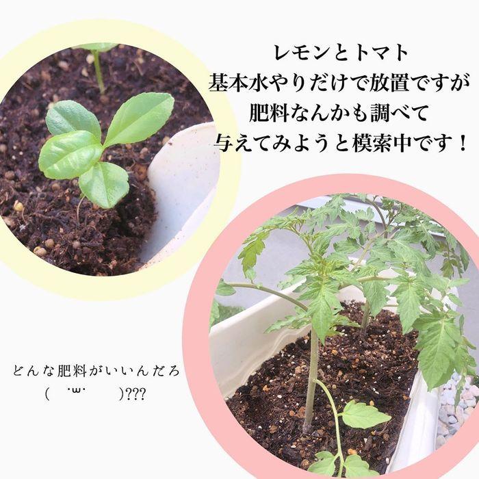トマトの種、とって植えたらどうなる!?おうち時間に楽しむ家庭菜園の画像27