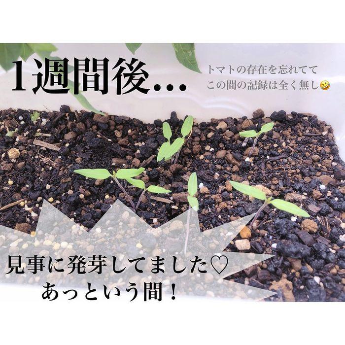 トマトの種、とって植えたらどうなる!?おうち時間に楽しむ家庭菜園の画像19
