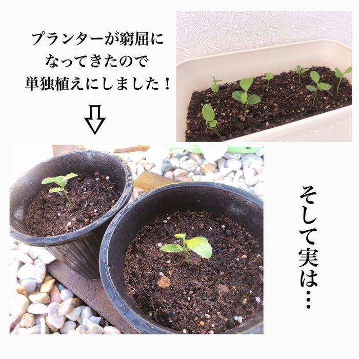 トマトの種、とって植えたらどうなる!?おうち時間に楽しむ家庭菜園の画像22
