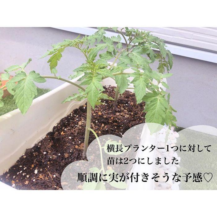 トマトの種、とって植えたらどうなる!?おうち時間に楽しむ家庭菜園の画像26